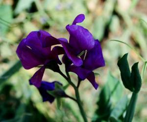 purple pea