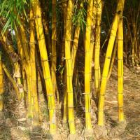 yellow bamboo canes