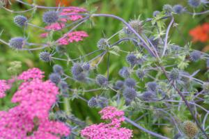 sea holly in landscape