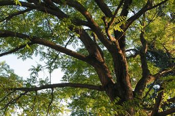 locust trunk and branches