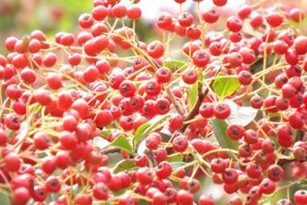 red pyracantha fruit