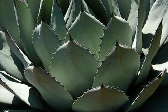 agave with thorns