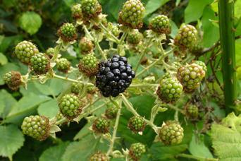 blackberry thorns