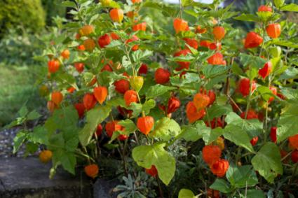 chinese lantern plants, Beautiful flower