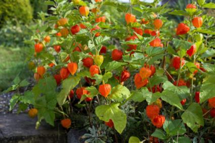 chinese lantern plants, Beautiful flower