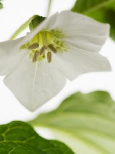 chinese lantern plant flower