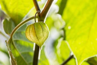 green seed pod