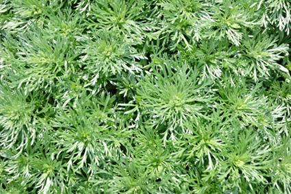 Artemisia Plants