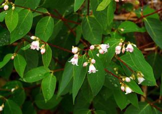 Spreading Dogbane, Apocynum Androsaemifolium