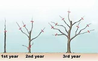 Apple tree pruning year 1, 2 and 3
