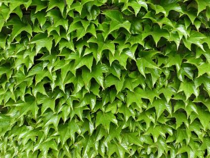 english ivy, Natural flower