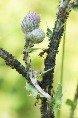 thistle with aphids
