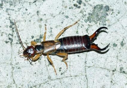 earwig insect