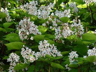 catalpa flowers