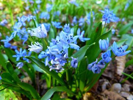 blue scilla flower