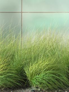 Sedge landscaping