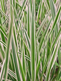 Sedge Carex Variegata