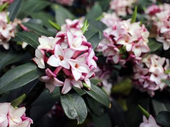 Blooming Daphne