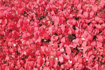Euonymus fal color