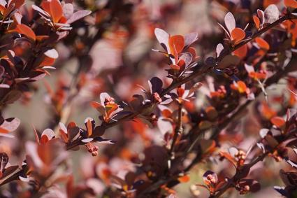 barberry cultivar