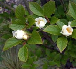 Korean Stewartia Tree
