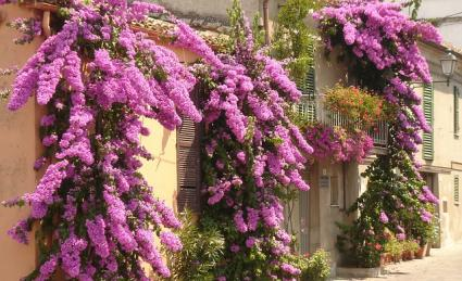 bougainvillea in flower