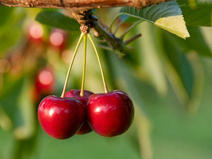 Royal Lee Cherries