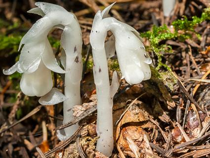 Indian Pipe