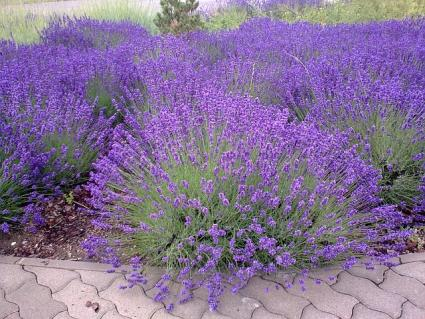 well-spaced lavender