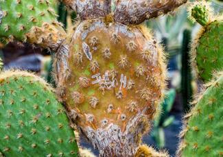 Mealy bugs damage on cacti