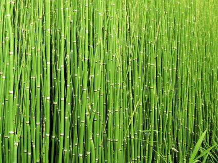horsetail hedge