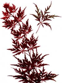 Japanese maple branch with leaves