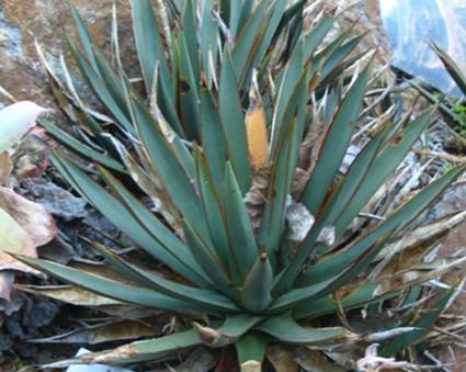 Arizonica Domestic Agave