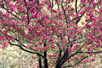 Crab Apple Tree