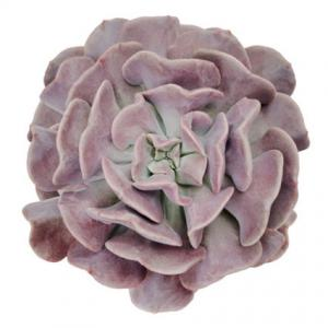Echeveria Cubic Frost