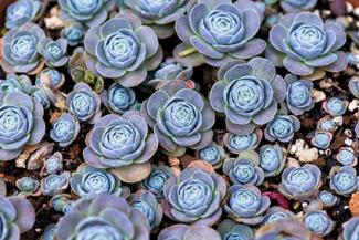 Echeveria spreading in garden