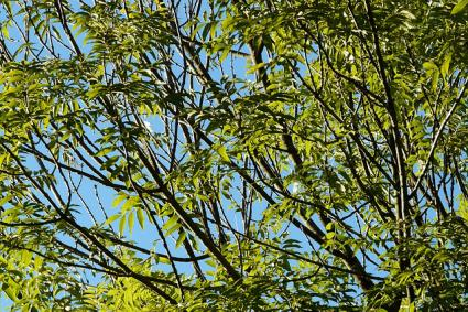 Black ash tree