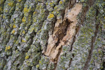 Bark damage on an ash tree