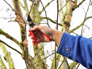 pruning a birch tree
