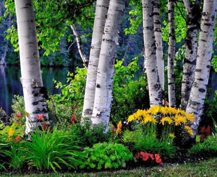 white bark birch in garden