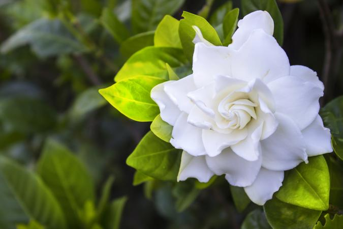why are the leaves on my gardenia turning yellow?, Beautiful flower