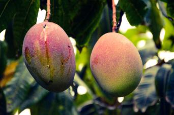 Indian type mangoes