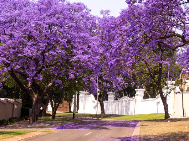 Fully grown Jacaranda trees in bloom