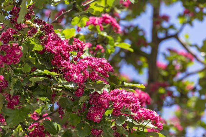 Blooming Hawthorn flowers