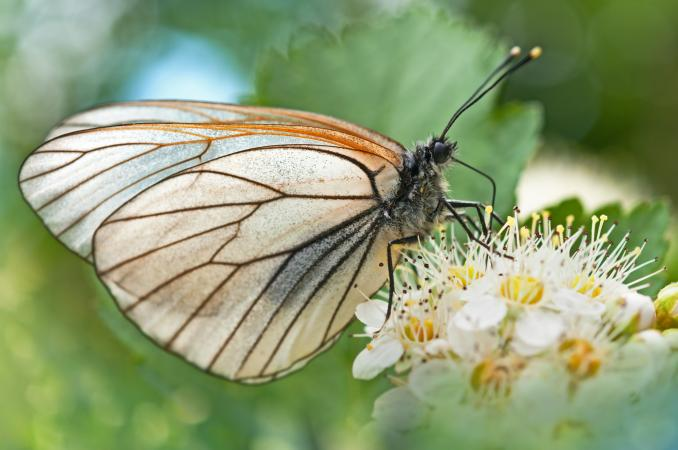 Butterfly on hawthorn flowers