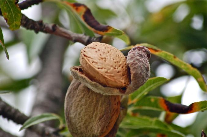 Almond tree nut