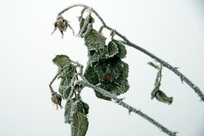 Frosted rose plant