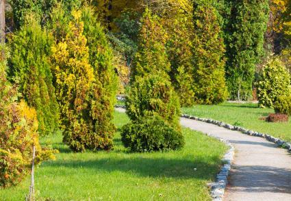 Golden Arborvitae