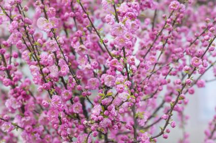 Dwarf pink almond