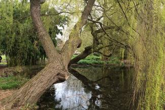Weeping Willow over pond